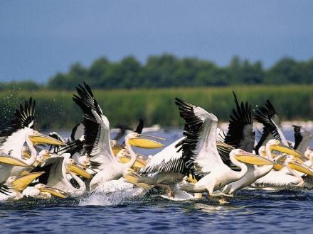 Pelicani_din_Delta_Dunarii_1024x715